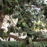 Fejoia on the tree