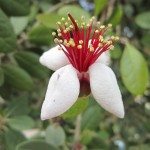 Fejoia Flower