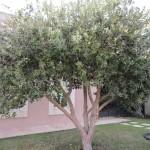 Fejoia Tree
