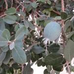 Fejoia Fruit on the tree